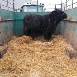 highland cattle fleischpreise